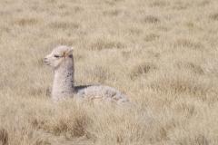 Llama in the Reserva Nacional de Fauna Andina Eduardo Avaroa.