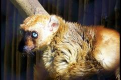 A female blue-eyed black lemur (<i>Eulemur macaco flavifrons</i>) in Tsimbazaza Zoo, Antananarivo, Madagascar.