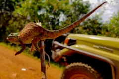 Chameleon inside Bwindi Impenetrable National Park in Uganda
