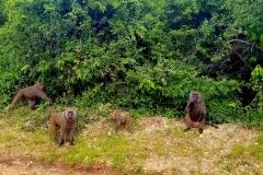 Olive baboons in Queen Elizabeth National Park, Uganda